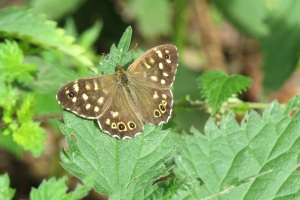 speckled wood (nhm)_edited
